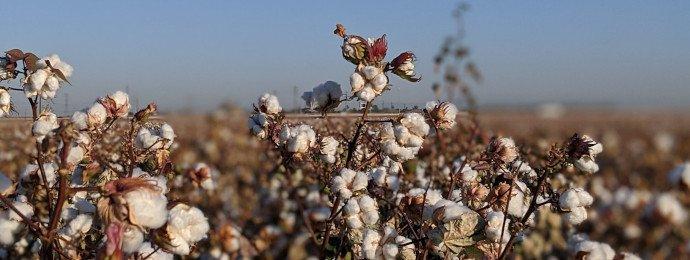 NTG24 - Baumwollpreis sucht seinen Konsolidierungsboden